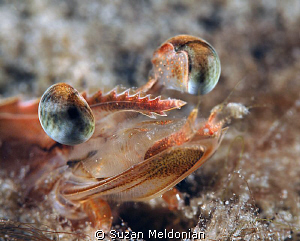 Shrimp so close you can see the hairs on his chinny chin ... by Suzan Meldonian