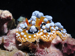 This Phyllidia varicosa taken with my canon G12 and Inon ... by Alvin Liu