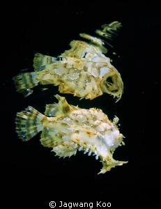 Reflection of Sargassum Frogfish Eggs, juveniles and adu... by Jagwang Koo