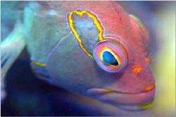 arc-eye hawk fish, Nikon D-100 / 105mm Oahu, Hawaii. Gre... by Catherine Landa