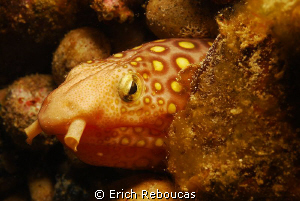 Napoleon snake eel, muck diving in South Sulawesi by Erich Reboucas