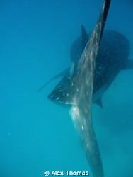 Whale Shark by Alex Thomas