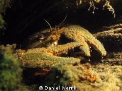 Hiding crayfish by Daniel Wernli