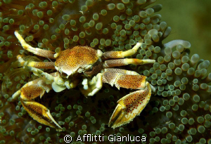 neopetrolisthes maculatus by Afflitti Gianluca