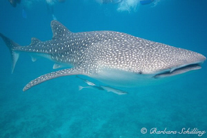 My first whale shark on digital camera ... finally ;-) by Barbara Schilling