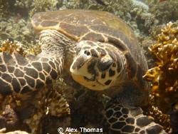 Turtle by Alex Thomas