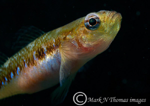 Two-spot goby. Connemara, 60mm. by Mark Thomas