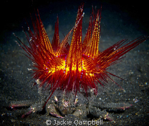 Beware the King of Crabs !!  by Jackie Campbell
