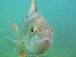 Curious Duzillet Pond perch by Daniel Wernli