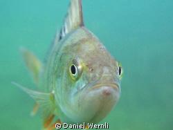Curious Duzillet Pond perch by Daniel Wernli
