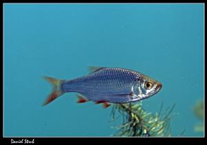 Rudd (Scardinius erythrophthalmus) in a pond :-D by Daniel Strub