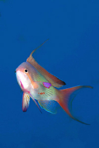 Male Anthias mid-water by Paul Colley