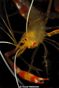 Golden Coral Shrimp... just hangin around. by Suzan Meldonian