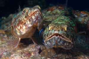 Lizardfish pair, Tulamben by Doug Anderson