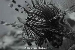 Lionfish by Rasmus Madsen
