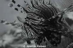 Lionfish by Rasmus Madsen
