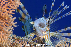 I begged him to yawn, and he did. Nauticam NA-D7000, 105m... by Alex Tattersall