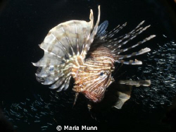 Night Dive in Egypt with feeding lionfish and swarms of s... by Maria Munn