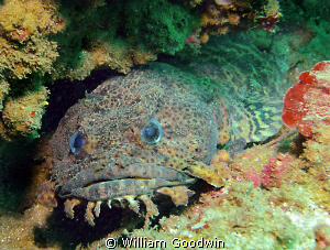 A cuddly little Leopard Toadfish. Four miles offshore fro... by William Goodwin