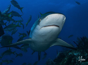 Reef Sharks show no fear but love the interaction with di... by Steven Anderson