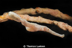 found in Lembeh; D200 by Thomas Lueken