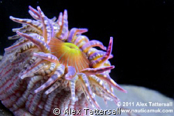 Gem Anemone taken in Kimmeridge Bay. by Alex Tattersall