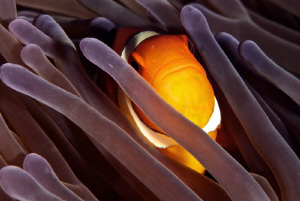 Curious Anemone Clown Fish by Lucie Drlikova