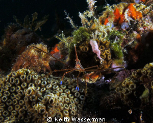 Arrow Crab on Veterans Reef, near Clearwater Florida. by Keith Wasserman