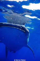 Whaleshark by Rasmus Madsen