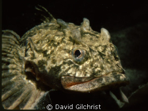 'Four horned' Arctic Sculpin, Resolute Bay, Canada's High... by David Gilchrist