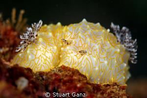 Goldlace Nudibranch by Stuart Ganz