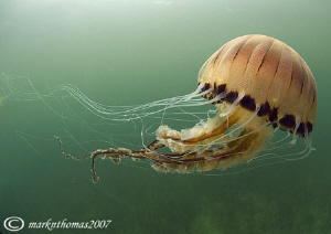 Compass jellyfish. Connemara. 10.5mm. by Mark Thomas