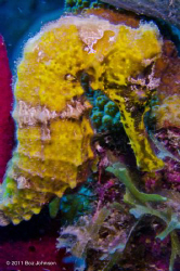 Yellow seahorse / at about 30 feet / Nikon d7000 / Ikelit... by Boz Johnson