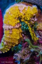 Yellow seahorse / at about 30 feet / Nikon d7000 / Ikelit... by Boz Johnson