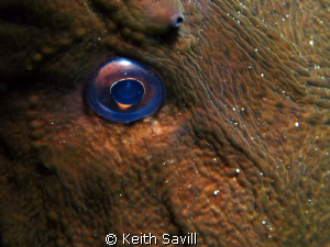 The eye of the moray. Canon Ixus 85is, Inon Macro lens, I... by Keith Savill