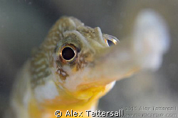 Greater pipefish at Swanage pier by Alex Tattersall