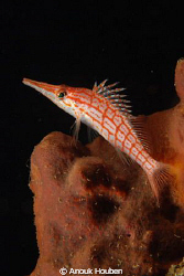 long-nosed hawkfish by Anouk Houben