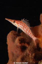 long-nosed hawkfish by Anouk Houben
