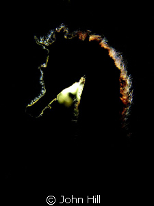 Seahorse with Backlighting.  Finally found one in the rig... by John Hill