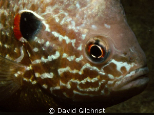 Pumpkinseed Sunfish Portrait by David Gilchrist