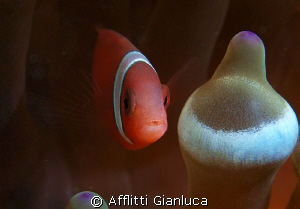 clown fish by Afflitti Gianluca