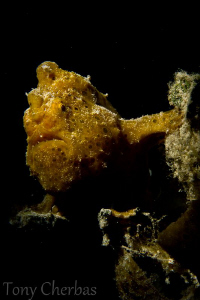 Shakespearean Frogfish: dramatic lighting with snoot :) by Tony Cherbas