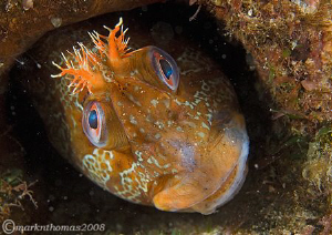 Tompot blenny in a pipe under Trefor Pier, N. Wales.