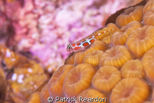 Orangesided Goby.  Nikon 105 with Subsee 5X. by Patrick Reardon