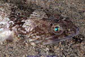 Lizardfish by Vittorio Durante