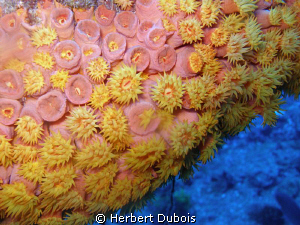 Golden Zoanthid - Taken on the Spiegel Grove Wreck by Herbert Dubois