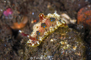 Glossodoris sp Bali, Indonesia by Tom Radio