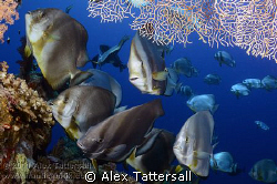 Batfish Cleaning Station on Shark Reef, Nauticam NA-D7000... by Alex Tattersall