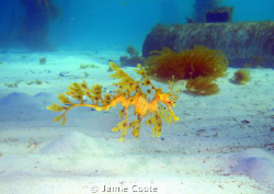 """""""Searching the sands"""" Leafy sea dragon found cruising in... by Jamie Coote"""