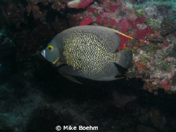 French Anglefish taken August 3, 2011, at Molasses Reef o... by Mike Boehm